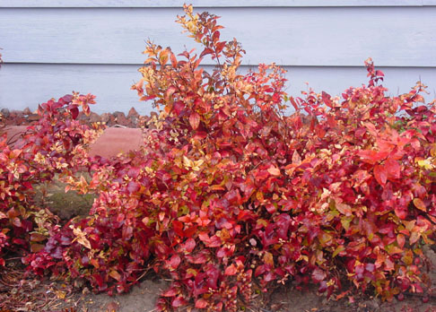 Flame spirea in fall colors