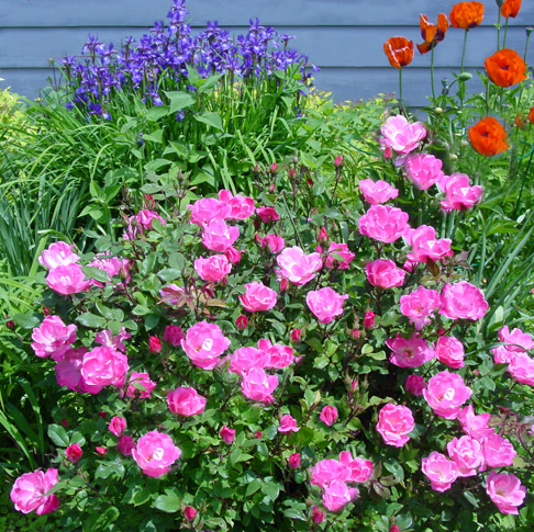 Growing Knock Out Roses | Genie in the Garden