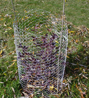 En Wire Cage To Protect Small Shrub From Rabbits